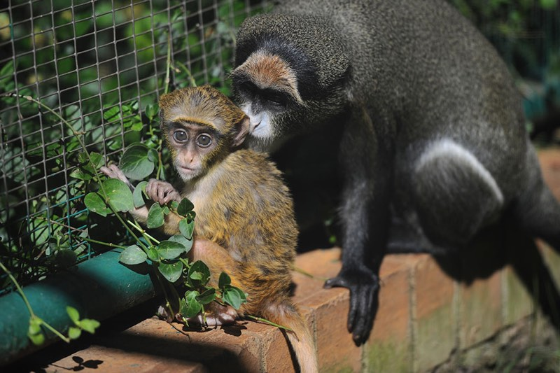 young De Brazza's monkey is seen in its enclosure with its mother, 16 May 2017, at the Johannesburg Zoo. The monkey is one month old and still feeding off the mother, and according to Primates Curator Katherine Stanton Visser the little one is doing well within the troop. Picture: Michel Bega
