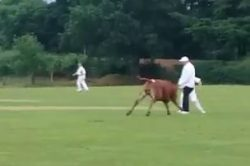 WATCH: Mad cow stops play in cricket match!