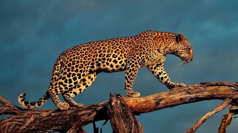 A leopard. Picture: Lowvelder