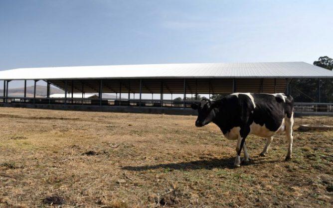 Guptas 'milking' taxpayers of millions through this dairy farm
