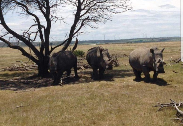 Rhinos on the Jeffreys Bay game farm where poachers killed two and wounded a third on Wednesday. Picture supplied by police.