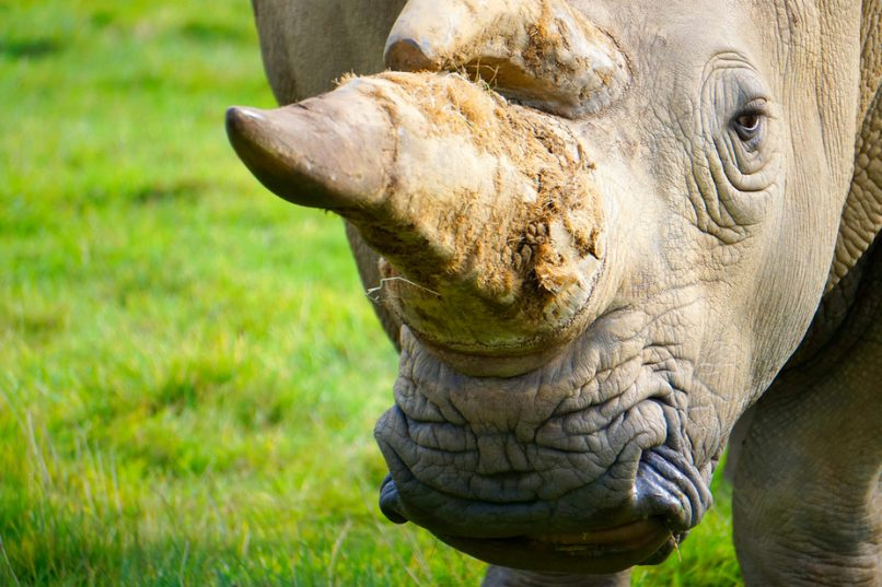 Rhino horn will still be available for private sales in South Africa as long as permits are available. Shutterstock
