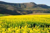 Nothing finer than fynbos