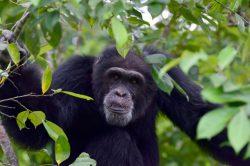Helping Ponso, sole survivor of 'Chimpanzee Island' in I. Coast