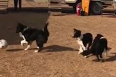 WATCH: How much would this dog fetch in the soccer transfer market?