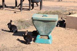 UPDATE: Benoni bunnies will not be fed alive, but will possibly be gassed