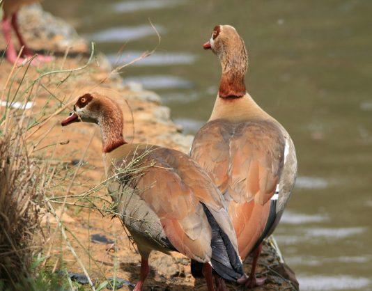 Wild Egyptian Geese