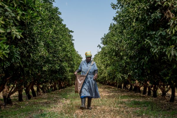 Eva Thobejane walks through a citrus field after distributing fertilizer on Zebediela Citrus Farm in Zebediela, Limpopo on 28 September 2017. During peak season, the farm supports some 1000 families with employment. During their off peak season, the grape farm nearby takes on the same workers. Picture: Yeshiel Panchia