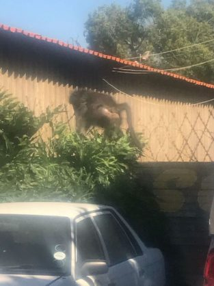 The male baboon was seen strolling through the Rail in Empangeni yesterday afternoon