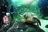 Queen of the aquarium, Yoshi the turtle, to go into the wild