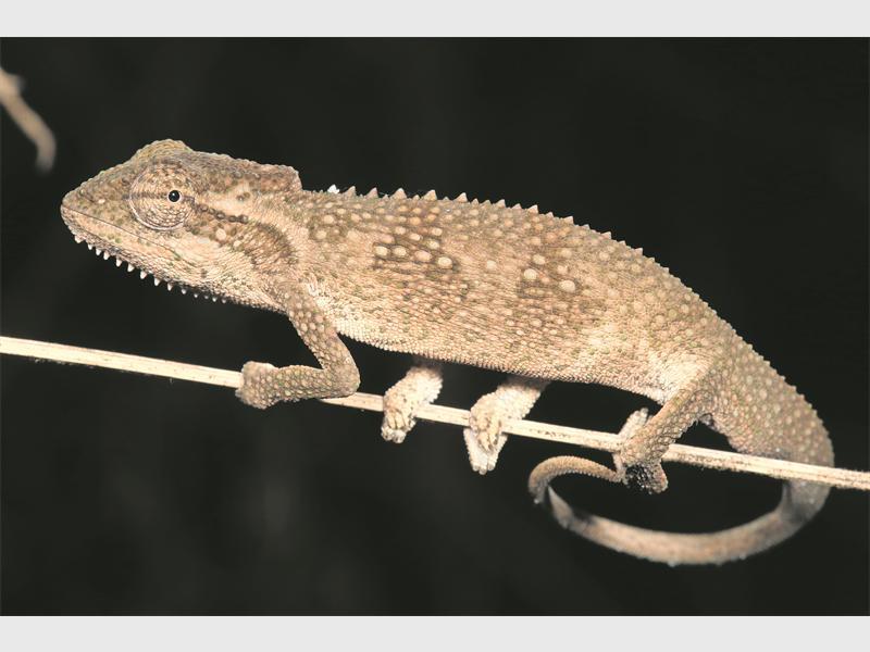 The KwaZulu-Dwarf Chameleon.