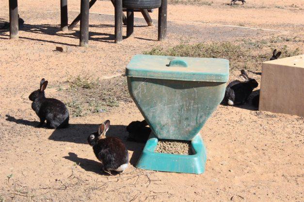 Rabbits at the Benoni Bunny Park.