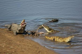 Crocodiles catch fish in the Olifants River. File photo: SAParks