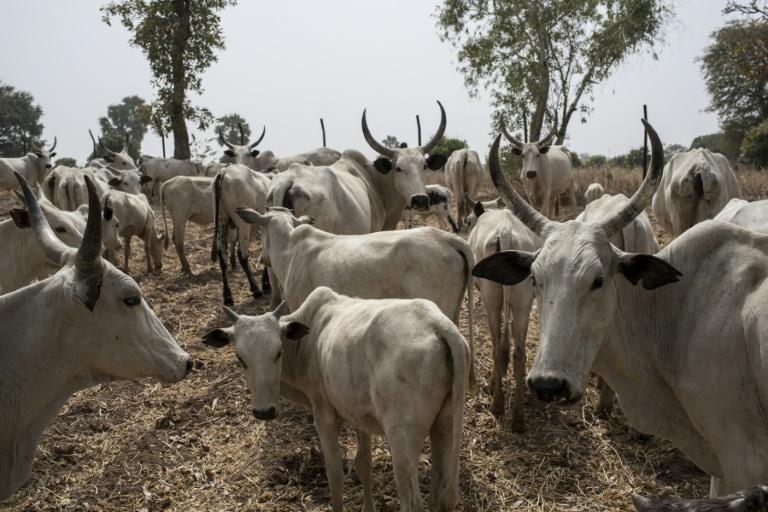 Cattle owned by Fulani herdsmen graze in a field outside Kaduna, northwest Nigeria in 2017