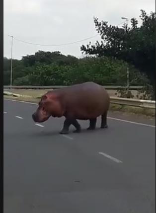WATCH: Hippo crosses main highway in Richards Bay