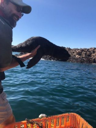 One of two seal pups being released at Bird Island in Algoa Bay. Photo: NSRI Port Elizabeth