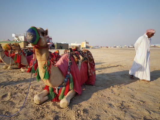 camel, desert