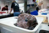 Kin of 'world's ugliest animal' among fish hauled off Australia abyss