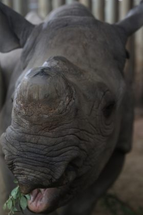 A Black Rhino orphan feeding as it looks forward to a second chance in life PHOTO: Larry Bentley
