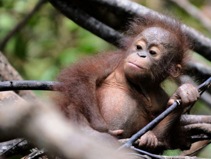 Borneo Lost Nearly 150K Orangutans in Just 16 Years