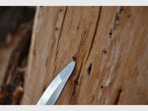Julian Ortlepp digs out a shotole borer from a boxelder maple.