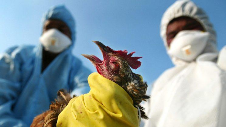 Bird flu outbreak in North West - The Citizen