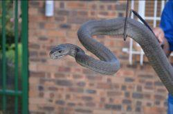 Black mamba caught in Centurion woman's yard