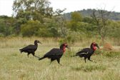 Project gives southern ground hornbills a helping hand