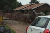 UPDATE   WATCH: Kudu bull gives Middelburg the runaround