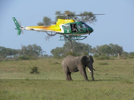 A SANParks helicopter hovers above an elephant which fell asleep on its feet after being darted so tuberculosis tests could be done on it in the Kruger National Park. Picture: Amanda Watson