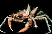Fuzzy crab, shiny-eyed shrimp discovered on Java expedition