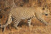 Leopard spotted near Empangeni, KZN
