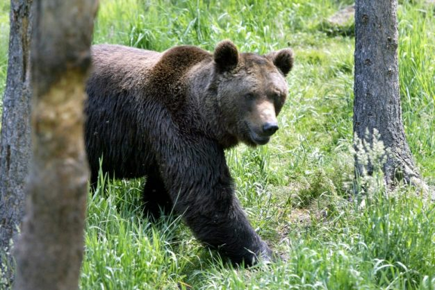 There are about 40 brown bears roaming the Pyrenees mountains in southern France, after being hunted close to extinction by the 1990s. AFP/File/GEORGES GOBET