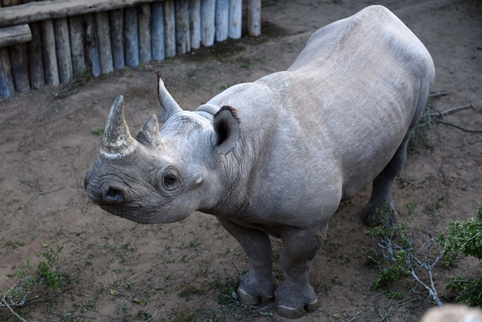 Chad gets 6 rhinos almost 50 years after losing the species