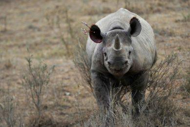 WATCH: Rhinos resist lions' bullying