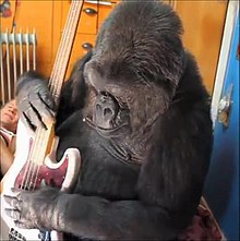Koko rocking out. Picture: Wikimedia commons.