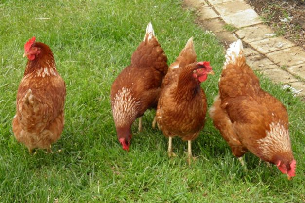 Chickens. Picture: Wikimedia Commons
