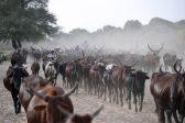 KZN police arrest men for stealing, killing cow valued at R12k