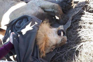 WATCH: Lost lion finally captured
