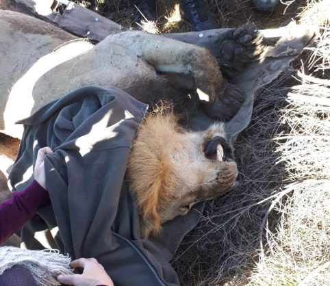 WATCH: Lost lion finally captured