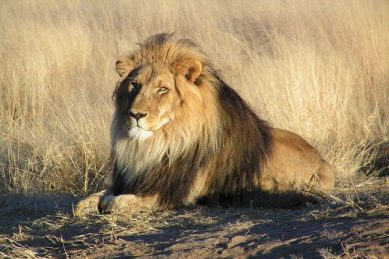 Three poachers become lunch for lions