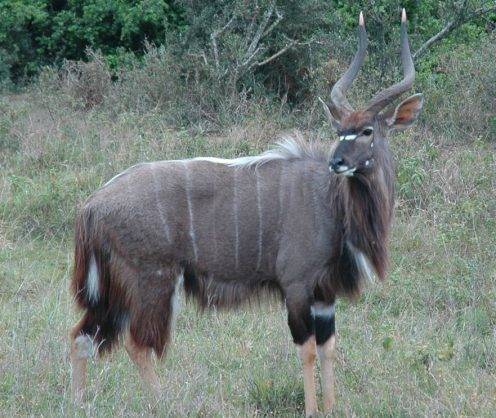 A male Nyala. Image: African Wildlife Detective website.