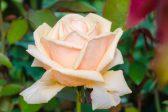 Make every rose petal count