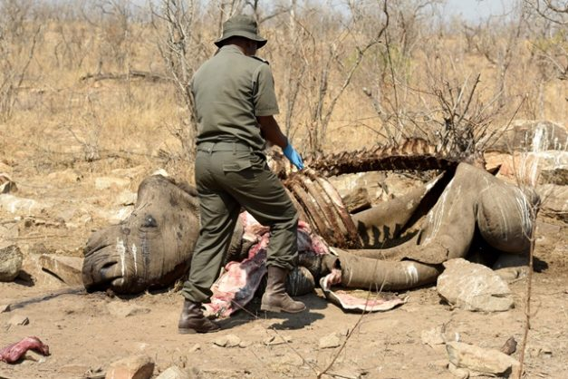 Sanparks environmental crime investigators with a rhino carcass that was poached in the Malelane section of the Kruger National Park, 21 August 2018. Picture Neil McCartney