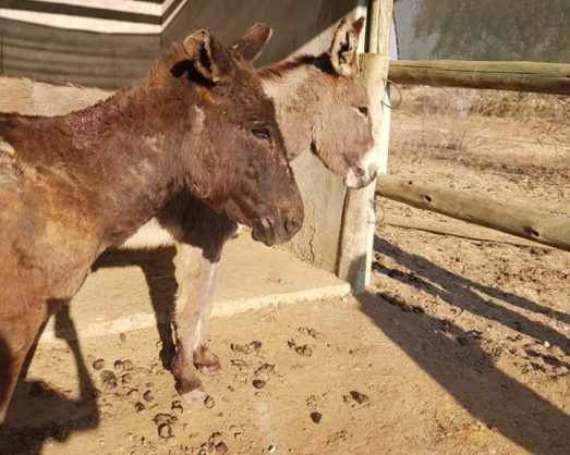 All the donkeys will stay in the care of the SPCA for many months to come. Photos: Supplied