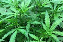 Canadian alcohol company, owners of Corona, put money into marijuana