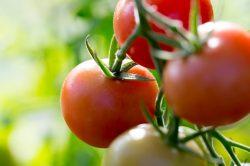 Exciting tomato varieties