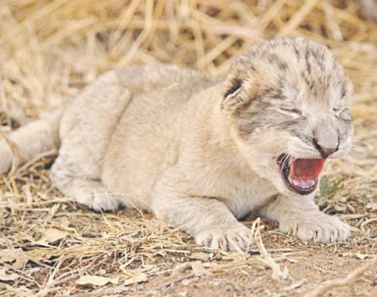 One of the new lion cubs that was born in Tshwane. Picture: Supplied