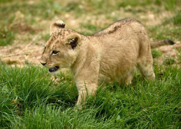 Case against alleged lion cub 'smugglers' delayed as police get DNA samples