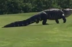 WATCH: Huge alligator has a liking for golf!